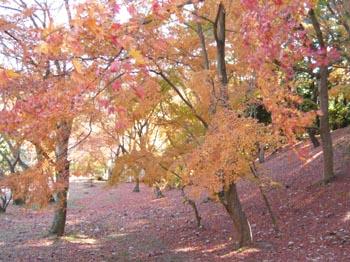 修善寺自然公園内のモミジ林