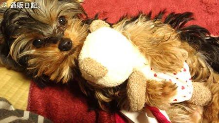 ヨーキー(ヨークシャテリア)の子犬